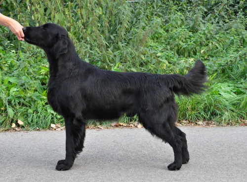 Flat Coated Retriever Gargamel Oasis of Peace