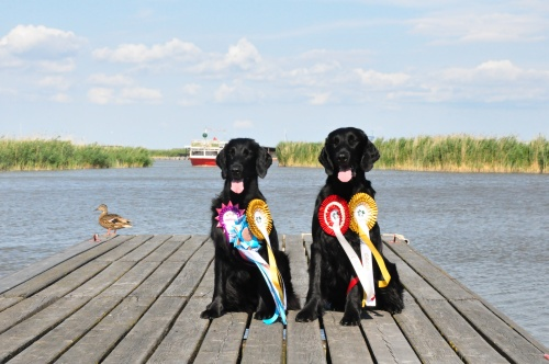 Show quality Flat Coated Retriever CACIB Oberwart