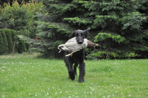 Flat coated Retriever Keep Smiling Oasis of Peace -