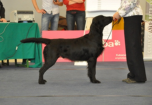 Flat Coated Retriever Caci´s Dark Chocolate of Love Wieselburg