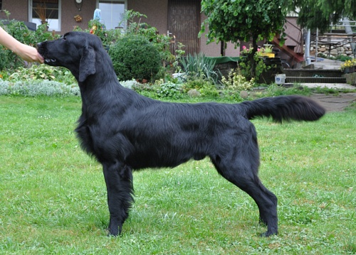 Flat Coated Retriever Stud dog Caci´s Dark Chocolate of Love
