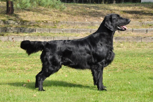 Flat Coated Retriever Caci´s Dark Chocolate of Love