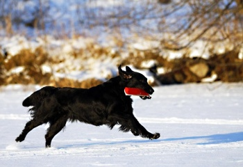 Flat Coated Retriever Caci´s She is Shining aport