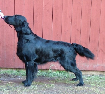 Flat Coated Retriever Black Mica's For Those Who Dare