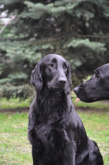 Flat Coated Retriever I was born on Easter Oasis of Peace