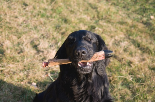 working Flat Coated Retriever I was born on Easter Oasis of Peace blood tracking