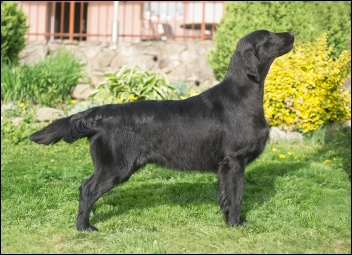 Flat Coated Retriever Let the Sun Shine Oasis of Peace Mimi