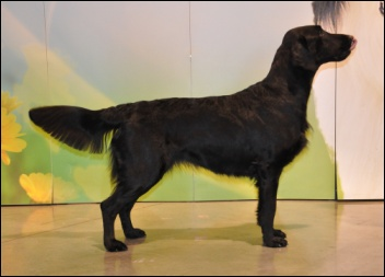 Flat Coated retriever šampion Just like Misty Oasis of Peace Misty