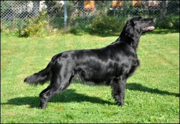 Flat Coated Retriever O´Flanagan Hur mas Det