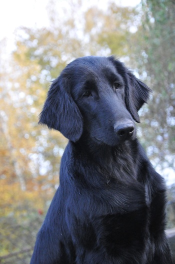 Flat Coated Retriever Keep Smiling Oasis of Peace