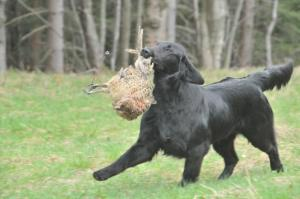 Flat Coated Retriever - Deborah Oasis of Peace
