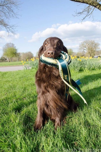 Flat Coated Retriever Charming Melvin Oasis of Peace