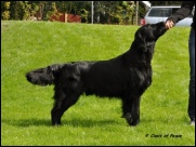 Black Mica´s That´s Enough Flat Coated Retriever