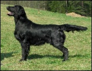Flat Coated Retriever Whizzbang Mexican Afterburner
