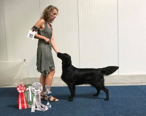 Flat Coated Retriever Just for Sajas Oasis of Peace