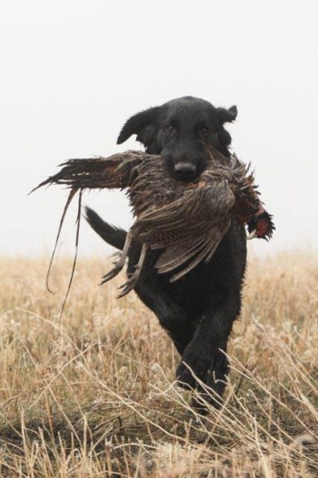Flat Coated Retriever Keep Going Oasis of Peace