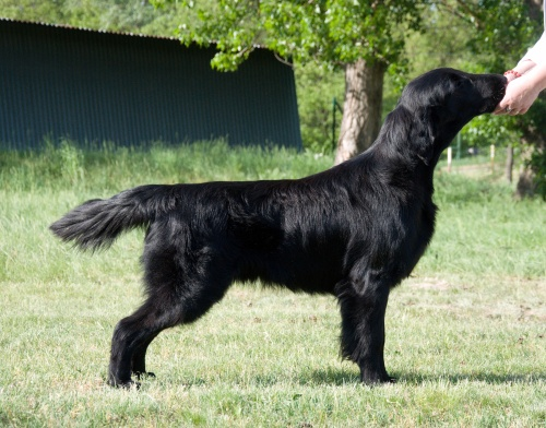 Flat Coated Retriever Live Laugh Love Oasis of Peace Lucky