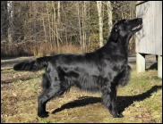 Flat Coated Retriever Miss Mallorys Sooner or Later
