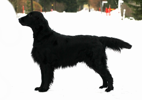 Flat Coated Retriever Oasis of Peace Sniffens Star of Paronis