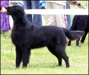 Flat Coated Retriever O Flanagan Vice Versa