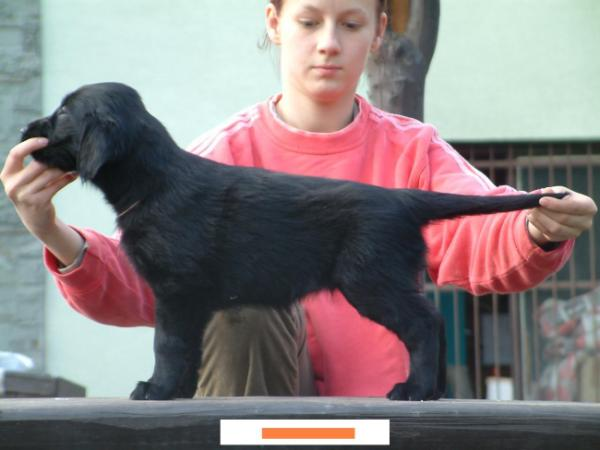 Flat Coated Retriever - Adornment of the World Oasis of Peace
