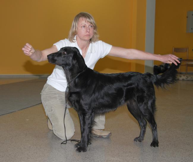 Flat Coated Retriever - Affectionate bud Oasis of Peace