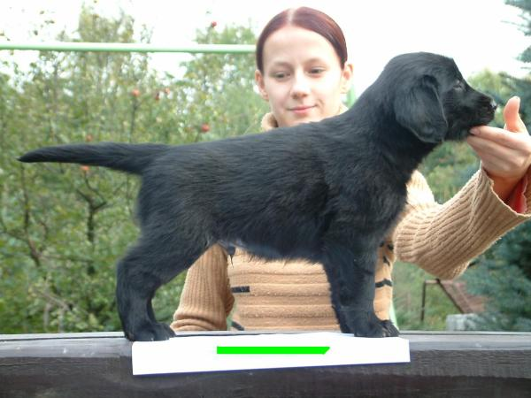 Flat Coated Retriever - Agog for love Oasis of Peace