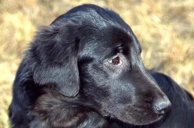 Flat Coated Retriever - Antinomy of evil Oasis of Peace