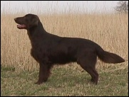 Flat Coated Retriever Java