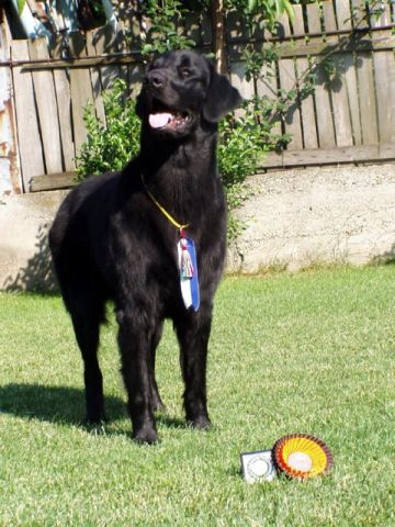 Flat Coated Retriever - Absolutely perfect Oasis of Peace
