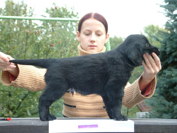 Flat Coated Retriever - Acme of perfection Oasis of Peace