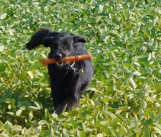 Flat Coated Retriever - Affluent of beauty Oasis of Peace
