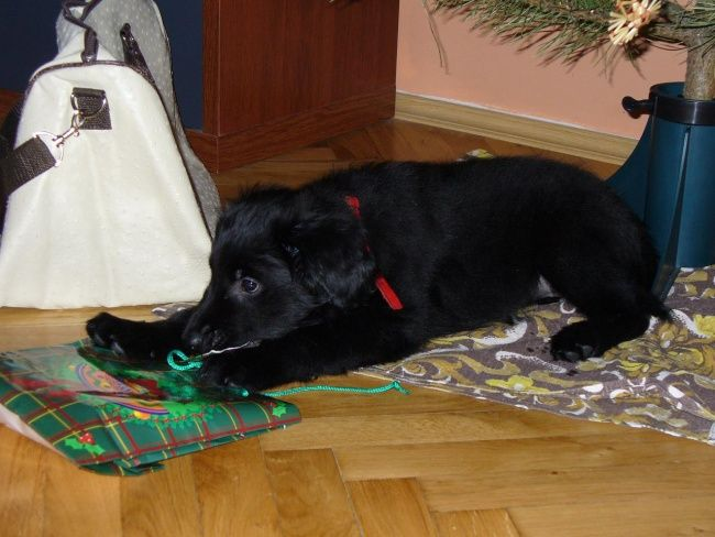 Flat Coated Retriever - Babbylon Bessy Oasis of Peace
