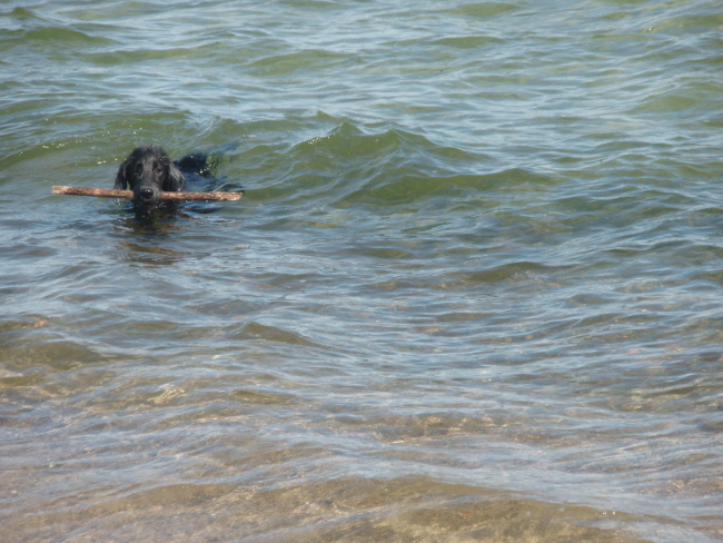 Flat Coated Retriever - Bali Bety Oasis of Peace