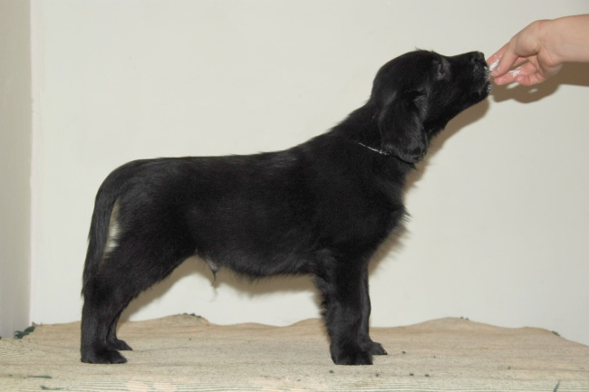 Flat Coated Retriever - Buenos Aires Oasis of Peace