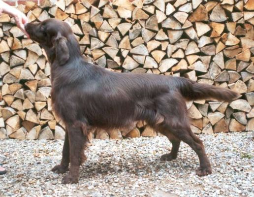 Flat Coated Retriever  - Huntlover's First Chocolate Coating