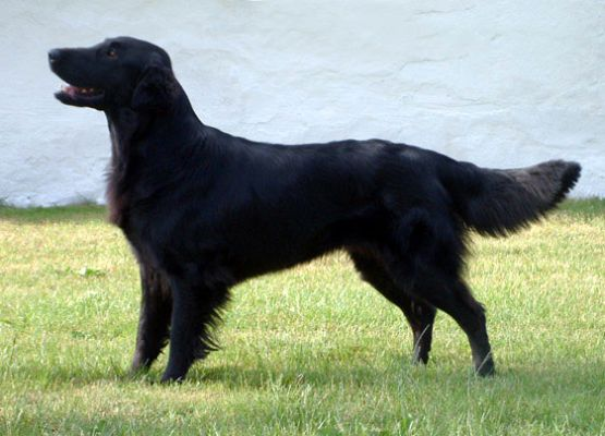 Flat Coated Retriever - Asta ze Šidláku