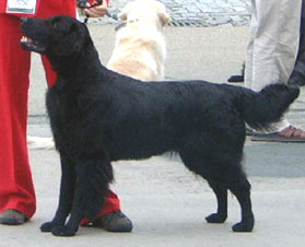 Flat Coated Retriever - Alan ze Šidláku