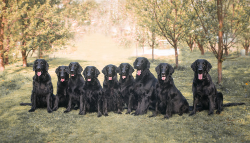 Flat Coated Retriever Oasis of Peace