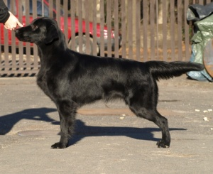 Flat Coated Retriever - Darling Oasis of Peace