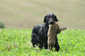Flat Coated Retriever - Diesel Oasis of Peace