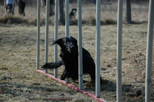 Flat Coated Retriever Deborah Oasis of Peace 2012