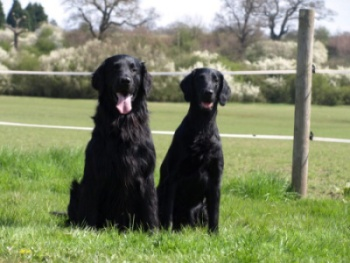 Flat Coated retriever - Rumpus, Rita